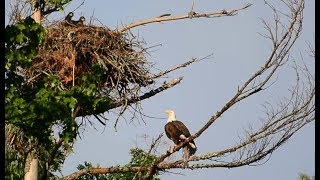 Download BALD EAGLE STRUGGLES TO GET MASSIVE FISH TO NEST... Video