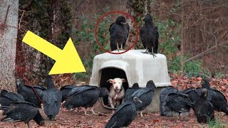 Download Somebody Chained This Pit Bull To A Tree. Then Dozens Of Vultures Began Circling Her Doghouse Video