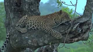 Download An action packed safariLIVE private rehearsal Video