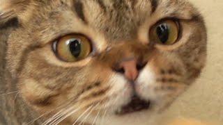 Download 고양이가 지옥의 두리안 냄새를 맡으면 생기는 일 Video