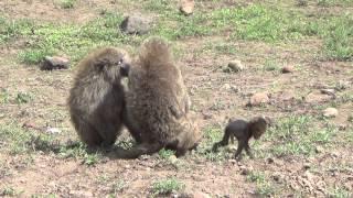 Download Wildlife Safari in Northern Tanzania - December 2013 Video