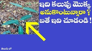 Download ఇది కలుపు మొక్క అనుకొంటున్నారా ? || #Hemidesmus Indicus plant uses in telugu || #Anantmool uses Video