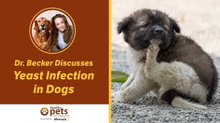 Download Dr. Becker Discusses Yeast Infection in Dogs Video