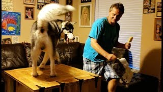 Download Malamute Hides Toy From Daddy❣ Video