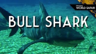 Download What Makes Bull Sharks Dangerous? Video