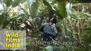 Download Poachers trek into the forest in Nagaland, on a Drongo hunt Video