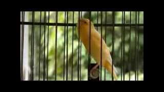 Download Lancashire Canary Video
