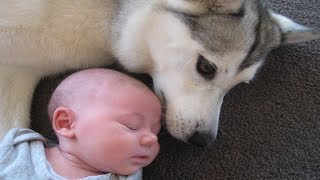 Download Nanny dog brings everything lovely to baby | Dog loves Baby Compilation Video