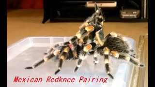 Download Breeding a pair of Brachypelma Hamorii Mexican Red Knee Tarantula Video