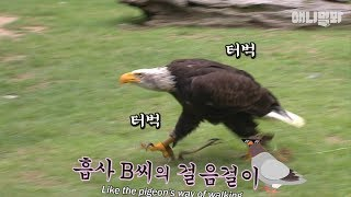 Download 날지않고 걷는 비둘기를 닭둘기라고 하죠. 닭수리 소개합니다. ㅣBald Eagle Doesn't Want To Fly, Just Walk Like A Dog LOL Video