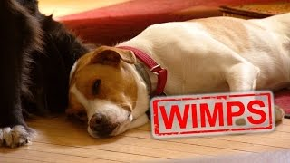 Download How to Test if Your Dog Will Wimp Out During a Burglary Video