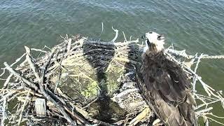 Download Osprey Nest - Chesapeake Conservancy Cam 06-17-2018 14:07:17 - 15:07:18 Video