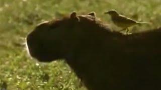 Download Animal partnerships - David Attenborough - BBC wildlife Video