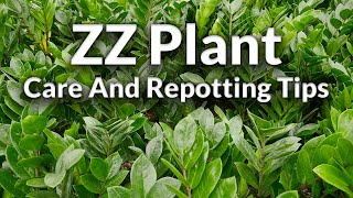 Download The Awesome ZZ Plant: Care & Repotting Tips / Joy Us Garden Video