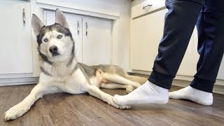 """Download ″Accidentally"""" stepping on my husky's feet too many times.. Video"""