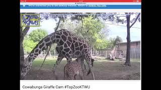 Download Please Play Konza!! Elizabeth the giraffe goes solo at Topeka Zoo Video