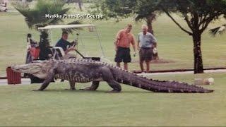 Download Huge Alligator Walks Florida Golf Course Video