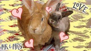 Download I Got Another Rabbit! | Bunny Bonding w/ Desmond & Olive Video