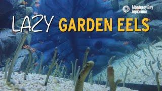 Download 12 Minutes of Garden Eels Feeding! Video