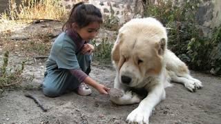 Download Как выглядят породы собак (ГАМПР – АРМЯНСКИЙ ВОЛКОДАВ) Video