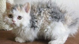 Download Cat's fur is curly like a poodle – then her owner looks closer and realizes the unthinkable Video