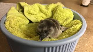 Download Oregon Zoo's first penguin chick of season hatches Video