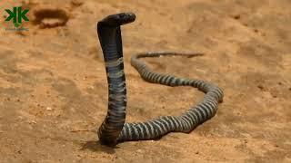 Download Tüküren Kobra Video