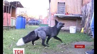Download На Вінниччині дівчина тримає вдома трьох лисиць Video