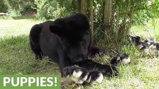 Download German Shepherds fascinated by newborn chicks Video