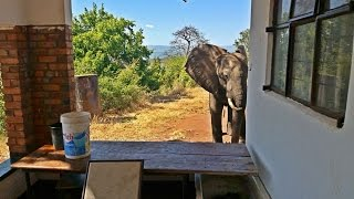 Download Injured Elephant Limps Seeking Out People Who Can Help Him After Being Shot By Poachers Video