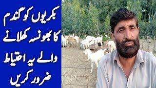 Goat Feed Formula | goat feed management | Goat Food in Pakistan