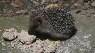 Download Hedgehog Street: Cute adolescent hedgehog munches on suet balls in garden Video