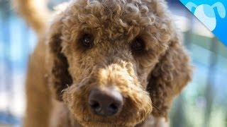 Download Labradoodle Facts Video