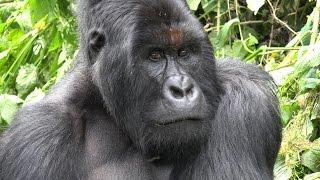 Download Mountain Gorilla Trekking, Virunga NP, DR Congo in 4K Ultra HD Video