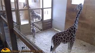 Download Tuesday Giraffe Cam (5-16-17) Video