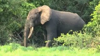 Download Elephants need 90 years to recover from poaching Video