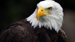 Download American Eagle - Nature Documentary (HD) Video