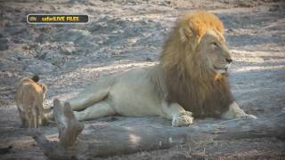 Download WE take a closer look at the social structure of a lion pride Video