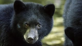 Download Mother Bear Teaches Cubs To Fish | BBC Earth Video