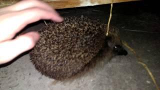 Download Hedgehog gets a stroke Video