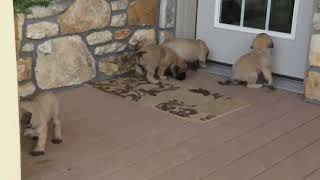 Download English Mastiff Puppies for Sale Chris Miller Video