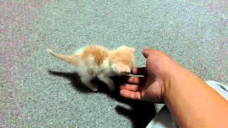 Download 息子が赤ちゃんねこ拾ってきた♪名前は「あいる」です♪ my son brought home a kitten . Video