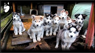 Download Preparing Food + Siberian Husky Eating: 10 Weeks Old(2018) Video