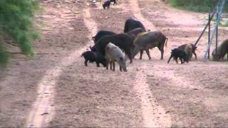 Download Texas feral hog hunting 2 by Kevin Dooley DVM Video