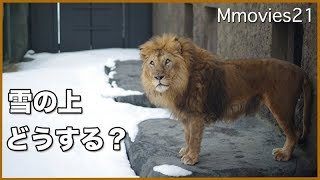 Download 雪国のライオン リッキー ジャンプで往復 ご飯待ち Lion in the snow Video