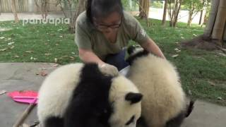 Download Cute!What did panda do when zookeeper cleaning the leaves Video