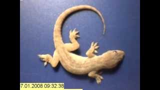 Download Time lapse - whole gecko eaten by ants in just a few hours! Video