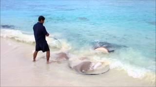 Download Feeding the Rays at Reethi Beach Resort, Maldives Video