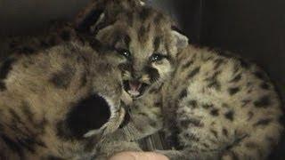 Download 4 COUGAR CUBS cutest ever! - © Denmortube Video