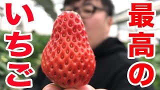 Download 【クレープ屋への道】最高のイチゴ探してみた(いちご狩り) Video